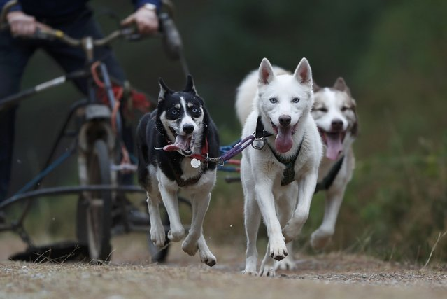 Husky dogs pull a rig and its musher during practice for the Aviemore Sled Dog Rally in Feshiebridge, Scotland, Britain January 24, 2017. (Photo by Russell Cheyne/Reuters)