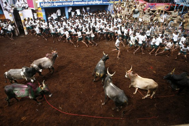 "Participants scramble on for safety as a group of bulls charge towards them during a bull-taming sport called ""Jallikattu"", in Alanganallor, about 424 kilometers (264 miles) south of Chennai, India, Thursday, January 16, 2014. (Photo by Arun Sankar K./AP Photo)"