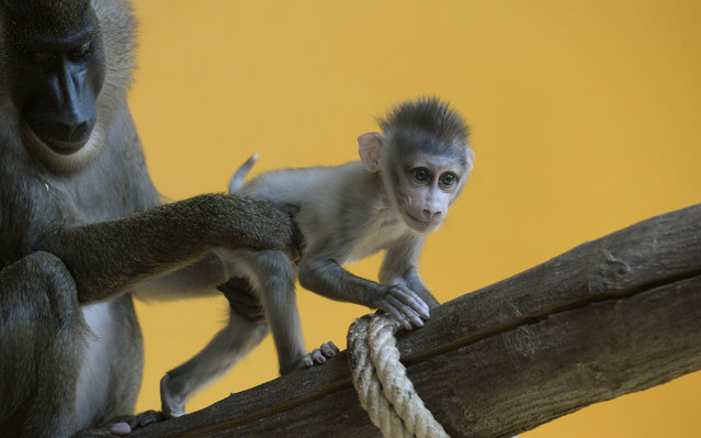 A drill monkey baby plays with his mother Afi in the enclosure at the zoo Hellabrunn in Munich, southern Germany on June 28, 2013. (Photo by Christof Stache/AFP Photo)