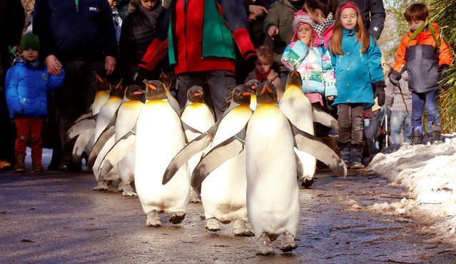 People follow king penguins exploring their outdoor pen, during a so-called 'penguin parade', when the animals walk outside their enclosure and the visitors can walk behind them, at Zurich's Zoo in Zurich, Switzerland January 28, 2017. (Photo by Arnd Wiegmann/Reuters)