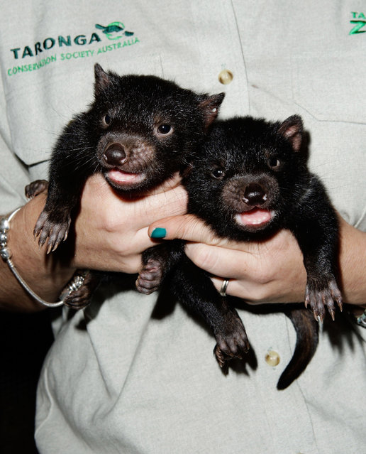 Tasmanian Devil joeys are seen at Taronga Zoo on October 22, 2009 in Sydney, Australia. (Photo by Brendon Thorne/Getty Images)