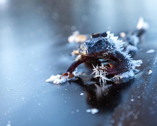 Frozen Frog By Svein Nordrum