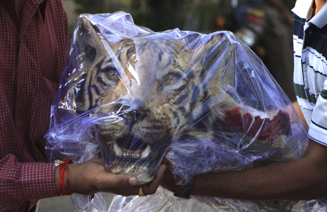 India's crime branch officers hold a seized head of a Royal Bengal tiger outside a hotel in Nagpur, India March 16, 2011. Police said they arrested two men at the airport that were carrying the head and the skin of a tiger. (Photo by Reuters/Stringer)