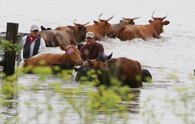 Ranchers wade chest deep in water while trying to herd cattle from a swollen creek near Lake Mexia, Monday, May 11, 2015 near Mexia, Texas. Heavy rains has flood the small community forcing many residents leaving near the lake to leave their homes. The cattle eventually made it to higher ground. (Photo by Rod Aydelotte/AP Photo/Waco Tribune Herald)