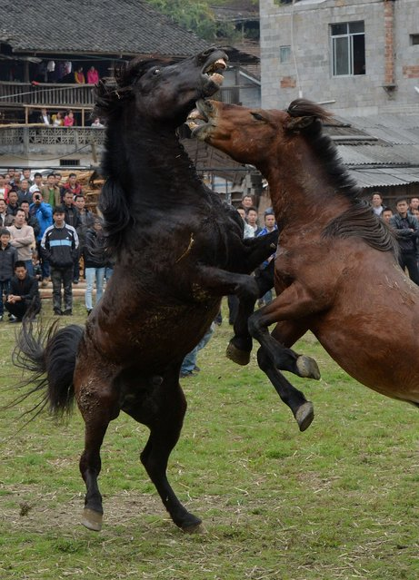 Horse Fighting In China