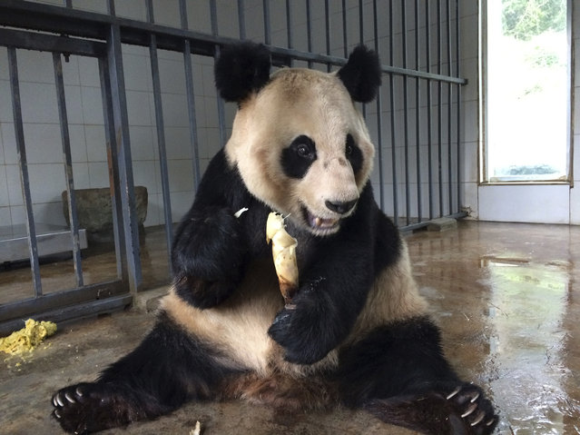 In this photo taken Saturday, March 25, 2017, 24-year-old female Giant Panda named Qiao Yuan eats a bamboo shoot at the China Conservation and Research Center for the Giant Panda Dujiangyan Base in the southwestern province of Sichuan. Failing eyesight, poor digestion, bad teeth, limbs no-longer so limber: With giant pandas in captivity living longer than ever, the list of physical and even emotional needs is growing. (Photo by Helene Franchineau/AP Photo)