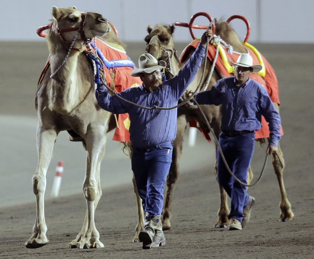 """Camels led by handlers Monte McClurg and Kris Anderson (R) parade along the track for fans before a race billed as """"The Cameltonian"""", at the Meadowlands Race Track in East Rutherford, New Jersey, June 21, 2014. Run by Hedrick's Promotions in Nickerson, Kansas, this is the third year the race has been run at the track, in tandem with an ostrich race. (Photo by Ray Stubblebine/Reuters)"""