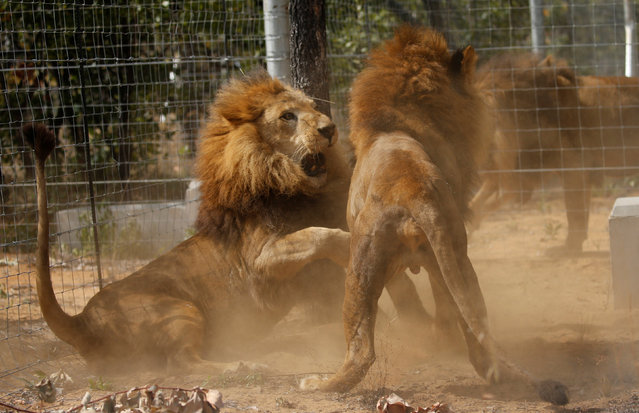 Some of the 33 lions rescued from circuses in Peru and Columbia are seen as they fight after being released at their final destination at the Emoya Big Cat Sanctuary, outside Vaalwater in South Africa's northern Limpopo province, May 1, 2016. (Photo by Siphiwe Sibeko/Reuters)