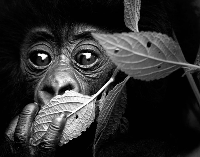 Undated David Yarrow handout photo of a gorilla as the self-taught wildlife photographer promotes his book, Encounter. (Photo by David Yarrow/Clearview/PA Wire)