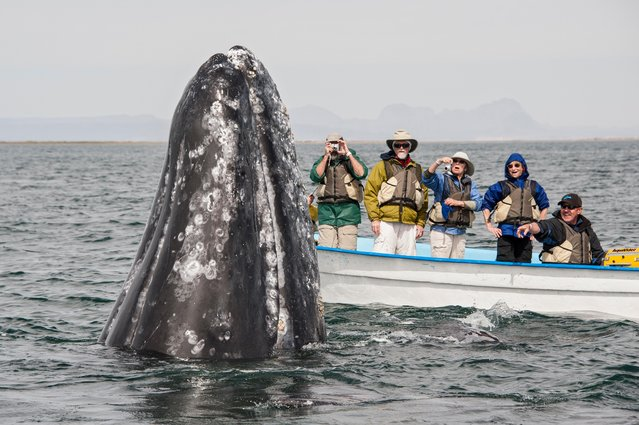 A grey whale splashes about in the water next to a boat filled with tourists in, Baja California, Mexico, March 2017. (Photo by  Mark Carwardine/Barcroft Images)