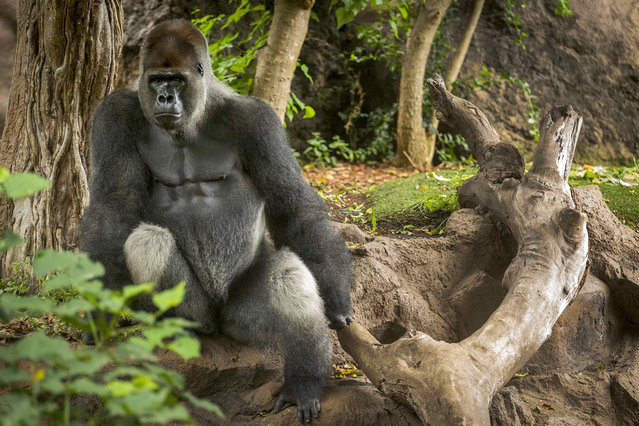 A gorilla is seen inside its enclosure at Loro Parque in Tenerife, Spain, 13 August 2015. La Laguna University and Loro Parque Foundation are conducting studies on gorillas in order determine if they are capable of reaching certain goals without any previous learning. (Photo by Cristobal Garcia/EPA)