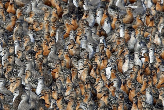Tightly packed knots seen in Snettisham, Norfolk, UK. (Photo by Chris Knights/Ardea/Caters News)