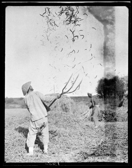 Winnowing. China, Beidaihe, 1917-1919. (Photo by Sidney David Gamble)