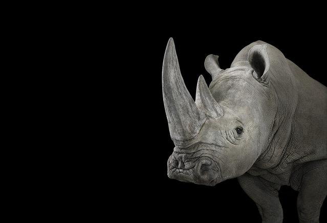Rhino. (Photo by Brad Wilson)