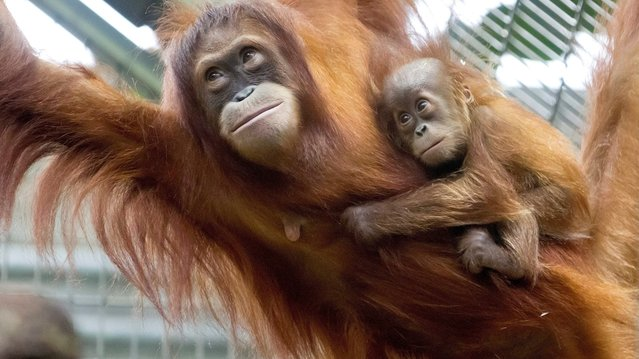 Malou, a male Sumatran orangutan, clings on tightly to his mother, Cahaya, as he makes his public debut in the Zurich Zoo, on September 19, 2012. (Photo by Alessandro Della Bella/EPA)