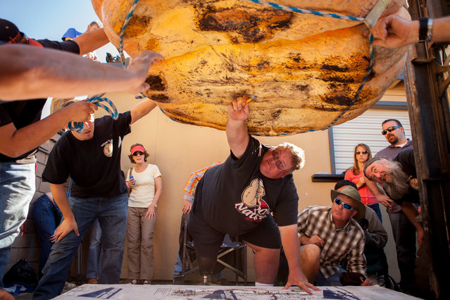 Ron Root inspects the integrity of a 1,828 lb. pumpkin grown by Russ Pugh at the 41st Annual Safeway World Championship Pumpkin Weigh-Off  in Half Moon Bay, Calif., Monday, October 13, 2014. Although Pugh had one of the largest pumpkins he was disqualified due to rot. (Photo by Alex Washburn/AP Photo)