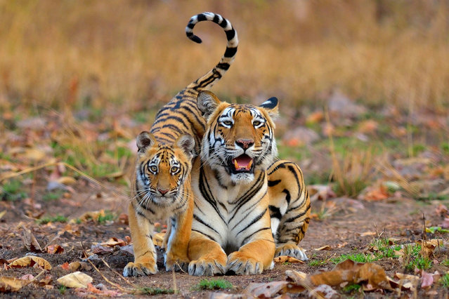 Individuals and populations category winner: Nilanjan Chatterjee. A tiger with her cub. (Photo by Nilanjan Chatterjee/Wildlife Institute of India/British Ecological Society)