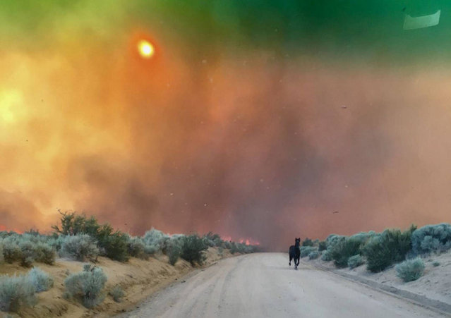 A horse runs from burning grasslands of the Long Valley fire near Doyle, California, July 13, 2017. (Photo by Lassen County Sheriff's Office/Reuters)