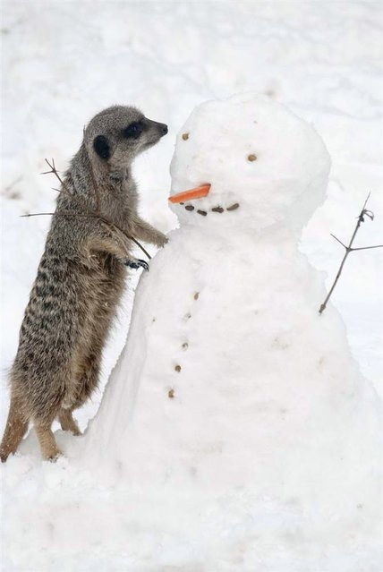 A meerkat at the London Zoo gets a close look at a snowman on January 21, 2013. (Photo by Zsl London Zoo/EPA)