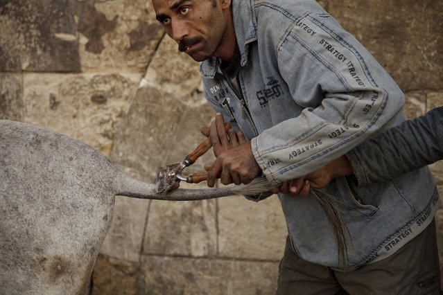 In this Saturday, March 8, 2014 photo, Mohamed Mahmoud trims the hair on a donkey's tail at his makeshift shop in the shadow of the medieval aqueduct in Cairo, Egypt. Mahmoud says he is the third generation of qassasseen, or animal barbers. (Photo by Maya Alleruzzo/AP Photo)