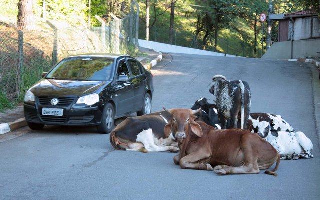 Cows disrupt traffic on Avenida Guido Caloi, in São Paulo, on March 22, 2013. Animals were left for about three hours on the track. (Photo by Luiz Claudio Barbosa/Futura Press/Estadão Conteúdo)