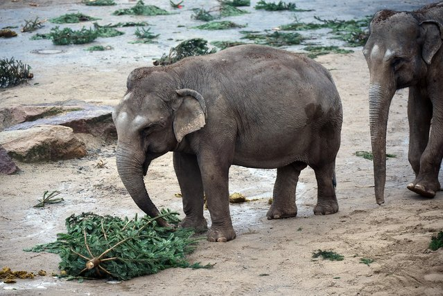 An elephant eats a Christmas tree on December 31, 2014 in a zoo in Cologne. The zoo feeds animals with unsold Christmas trees. (Photo by Henning Kaiser/AFP Photo/DPA)