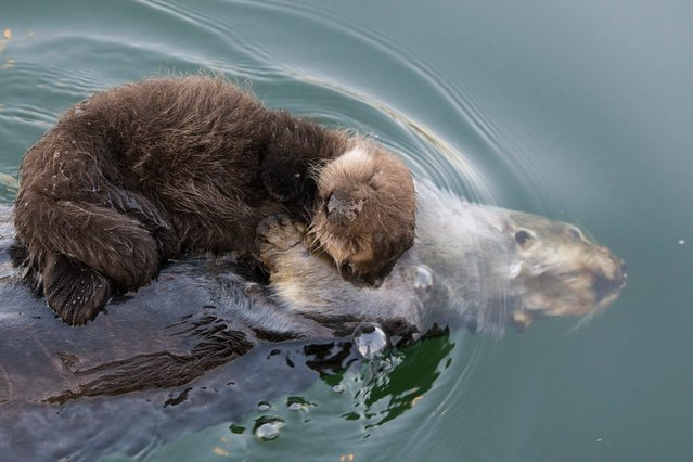 The sea otter mother with her three day old newborn pup ontop of her to keep it dry and warm while it sleeps. (Photo by Suzi Eszterhas/Minden Pictures/Solent News & Photo Agency)