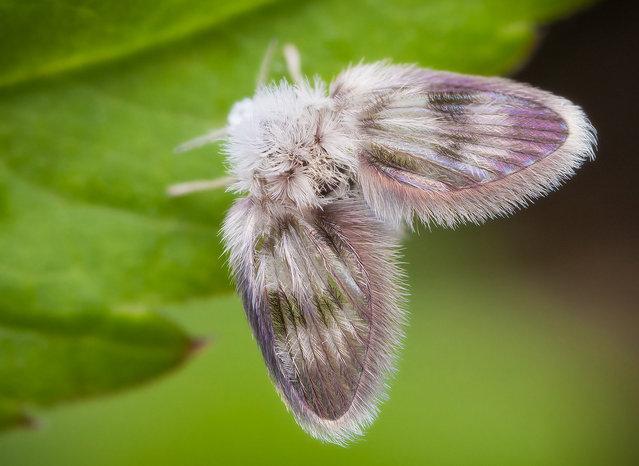 Moth Fly. Psychodidae; Size: 3 mm. (John Hallmén)