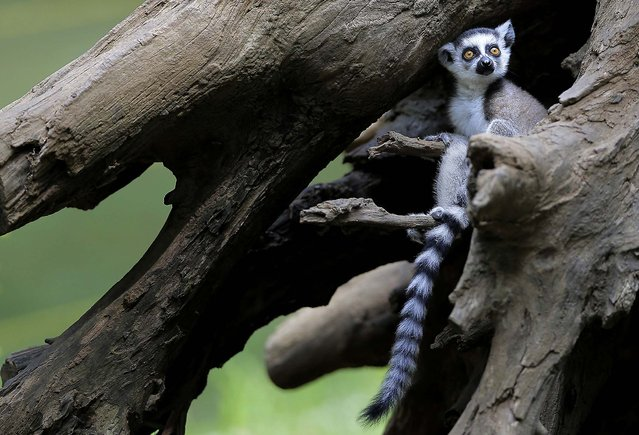 A two-month-old ring-tailed lemur sits in a tree  at the Chiba Zoological Park near Tokyo, on June 30, 2013. (Photo by Itsuo Inouye/Associated Press)