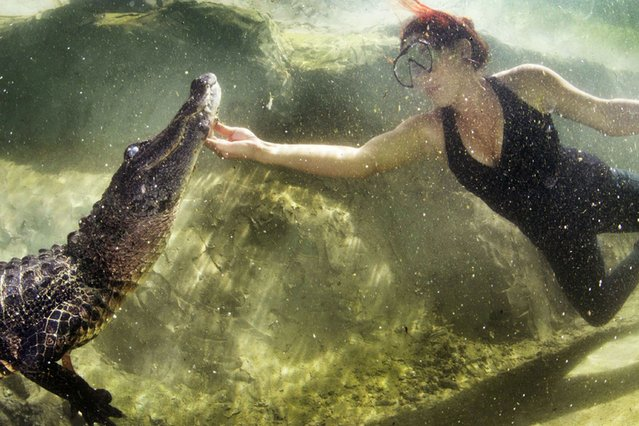 Ashley Lawrence of Animal Planets Gator Boys shows no fear and happily tickles a deadly alligator, on July 30, 2013. She wrestles and swims with them as part of her job which is helping to rescue dangerous gators from Floridas everglades and safely relocate them. (Photo by Mac Stone/Caters News)