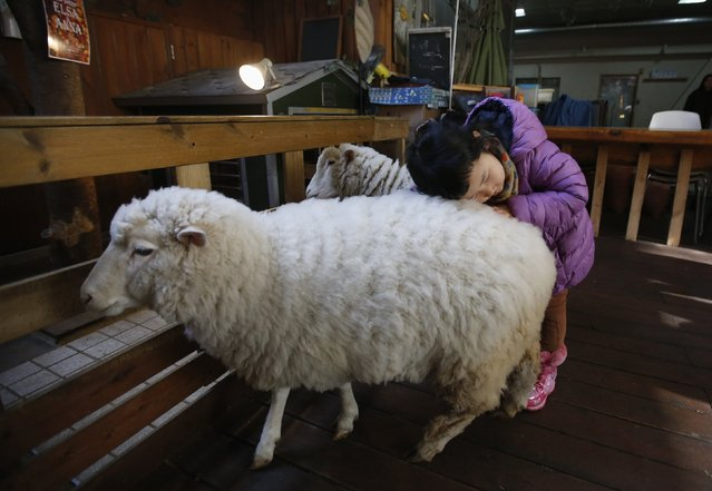 A girl plays with sheep at a sheep cafe in Seoul February 6, 2015. (Photo by Kim Hong-Ji/Reuters)