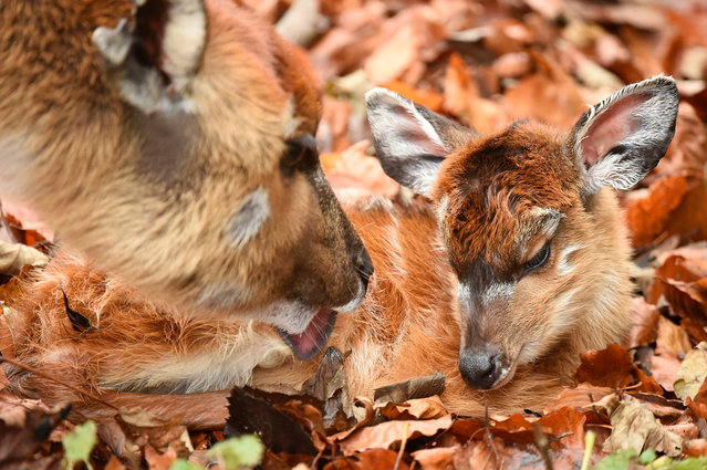 A newly born Sitatunga calf seen at ZSL Whipsnade Zoo on November 24, 2016 in Whipsnade, England. The swamp-dwelling species, also known as a marshbuck, is Africa's only true amphibious antelope. It was snuggled up in the leaves and almost perfectly camouflaged as it mother tended it. (Photo by Tony Margiocchi/Barcroft Images)