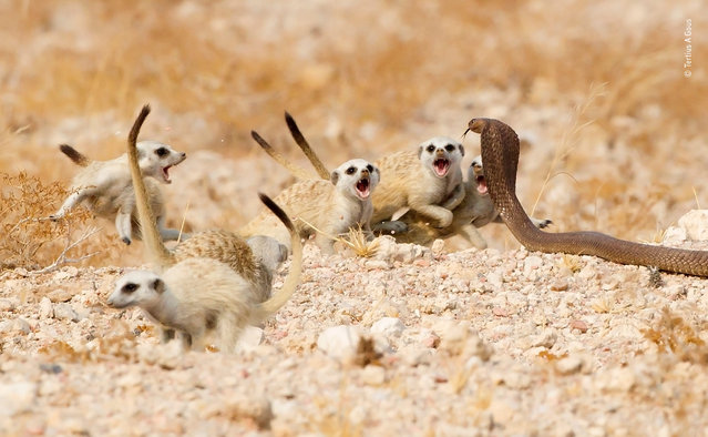 "The meerkat mob by Tertius A. Gous, South Africa. Highly commended, Behaviour: Mammals. ""When an Anchieta's cobra reared its head and moved towards two meerkat pups near their warren on Namibia's Brandberg Mountain, the rest of the pack – foraging nearby – reacted almost instantly. Rushing back, the group split into two: one group grabbed the pups and huddled a safe distance away, the other took on the snake. Tails raised, the mob edged forwards, growling. When the snake lunged, they sprang back. This was repeated over and over for about 10 minutes. Finally, the cobra gave up and disappeared"". (Photo by Tertius A. Gous/2018 Wildlife Photographer of the Year)"