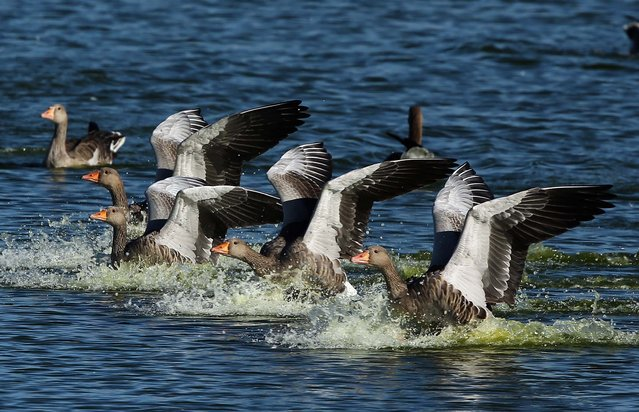 Pink-footed geese land on a lake during the incoming tide. (Photo by Dan Kitwood/Getty Images via The Palm Beach Post)