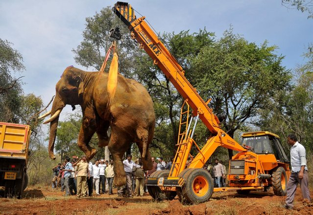 The carcass of 35-year-old elephant Sidda is lifted by a crane for its autopsy after he died of his injuries which he, according to forest officials, sustained while being chased by villagers late August, at Dabbaguli village on the outskirts of Bengaluru, India, December 9, 2016. (Photo by Abhishek N. Chinnappa/Reuters)