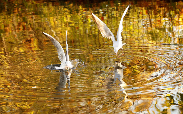Autumn colours are reflected in the water as gulls dive for food on the Grand Union Canal in Loughborough, Britain October 18, 2018. (Photo by Darren Staples/Reuters)