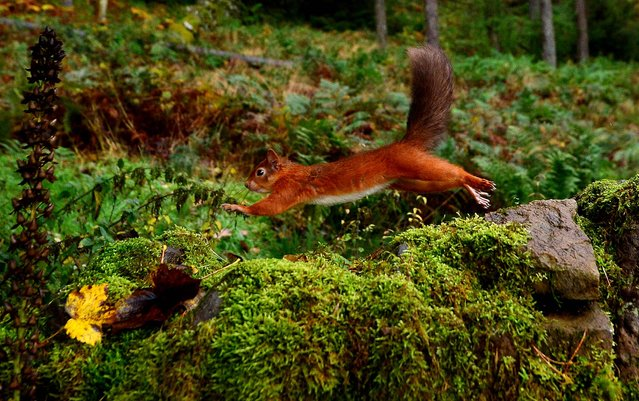 A Eurasian red squirrel (Sciurus vulgaris) darts along a stone wall in England's Kielder Forest after collecting food, on Oktober 21, 2013. Kielder Forest is England's largest forest at 250 square miles and is home to the largest remaining red squirrel population in England. (Photo by Owen Humphreys/PA Wire)