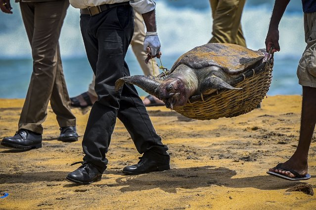 Wildlife officials carry away the carcass of a turtle that was washed ashore at the beach of Angulana, south of Sri Lanka's capital Colombo on June 24, 2021. (Photo by Ishara S. Kodikara/AFP Photo)