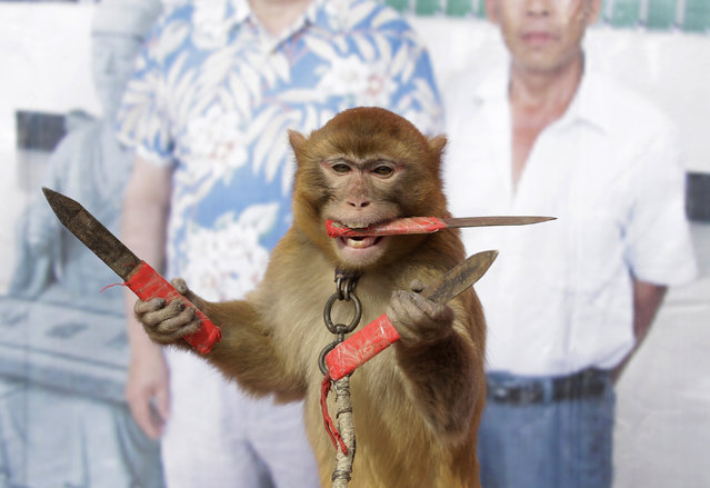 A monkey catches knives as it balances on a board during a daily training session at a monkey farm in Baowan village, Xinye county of China's central Henan province, February 2, 2016. Baowan village of China's central Henan province appears to be your average farming community from the surface, but at a closer look, one can hear monkey hoots from every direction. Although no official number exists, villagers say that they have been a breeding ground for both monkeys and monkey trainers for centuries. (Photo by Jason Lee/Reuters)