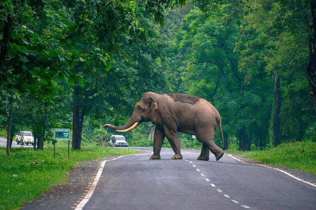 A wild male elephant crosses a road at the Mahananda Wildlife Sanctuary on the outskirts of Siliguri on July 1, 2021. (Photo by Diptendu Dutta/AFP Photo)