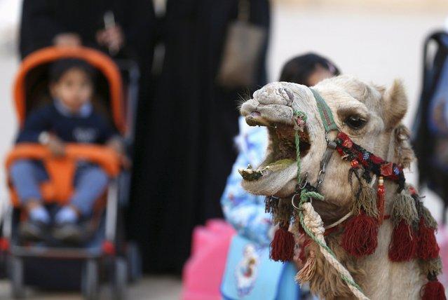 A camel grumbles during Janadriyah Culture Festival on the outskirts of Riyadh, Saudi Arabia February 8, 2016. (Photo by Faisal Al Nasser/Reuters)