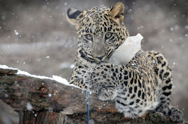 A Persian leopard plays with a bottle of snow at the town's zoo in Dvur Kralove nad Labem, Czech Republic on January 13, 2017. (Photo by Slavek Ruta/Rex Features/Shutterstock)