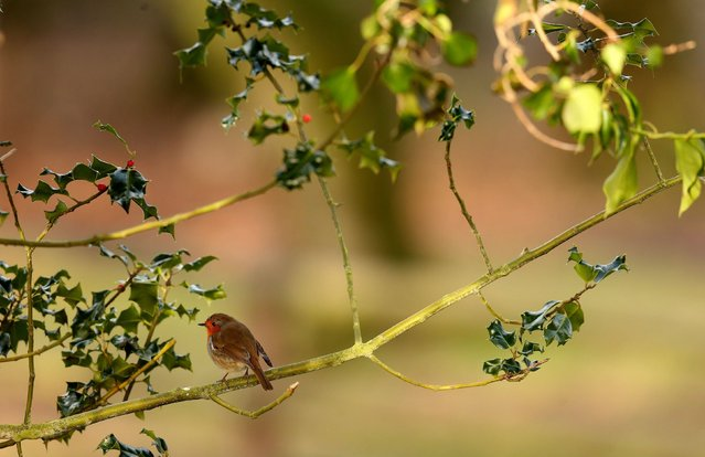 A robin perches in a holly tree at Fota wildlife park in Co. Cork, Ireland, on December 30, 2013. (Photo by Brian Lawless/PA Wire)