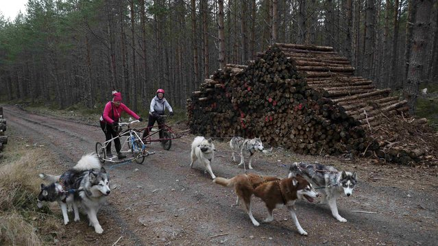 Husky dogs pull rigs with their mushers during practice for the Aviemore Sled Dog Rally in Feshiebridge, Scotland, Britain January 24, 2017. (Photo by Russell Cheyne/Reuters)