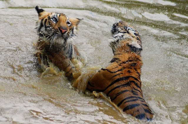 In this photograph taken on April 4, 2013, one-year-old tigers play in a small pond at the Indian Nandankana Zoological park in Bhubaneswar, in the India of state Odisha. A wild tiger is believed to have killed four villagers in northern India in 12 days, prompting searches for the big cat and protests from villagers, an official said. The beast attacked and killed a 40-year-old woman on January 8 in a village in the Indian state of Uttar Pradesh. (Photo by Asit Kumar/AFP Photo)
