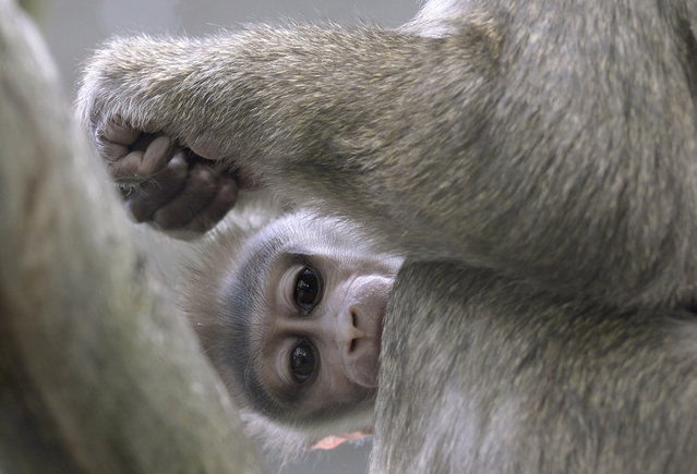 A drill monkey baby sits next to his mother Afi in their enclosure at the zoo Hellabrunn in Munich, southern Germany on June 28, 2013. (Photo by Christof Stache/AFP Photo)