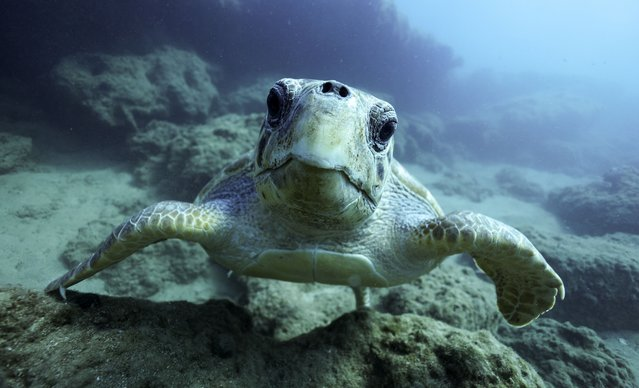 A turtle in the Aegean Sea off the island of Crete, Greece on September 28, 2021. (Photo by Sergei Bobylev/TASS)