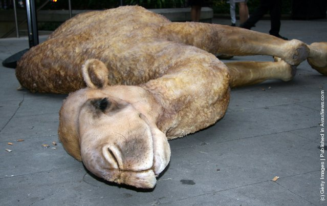 Passer inspects Camelot, a replica camel carcass simulating that used by adventurer Bear Grylls to shelter in the Sahara desert during an episode of the Discovery Channel's Man Vs. Wild