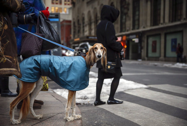 A dog waits on the corner of 31st street and 7th avenue in New York, February 9, 2014. Dogs are arriving for the 139th Annual Westminster Kennel Club Dog Show that starts on Monday. (Photo by Shannon Stapleton/Reuters)