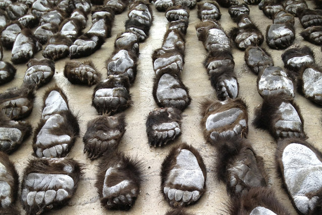 Smuggled bear paws are seen at the China-Russia border in Manzhouli, Inner Mongolia Autonomous Region, China June 15, 2013. (Photo by Reuters/Stringer)